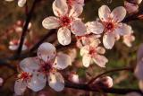 blooming sand cherry