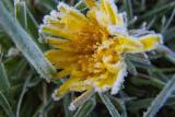dandilion in frosty coating