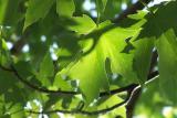back lit maple leaves