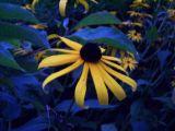 dark-eyed daisy