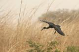 African Openbill (Anastomus lamelligerus)