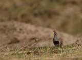 Patrijs - Partridge