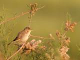 Vale Spotvogel - Eastern Olivaceous Warbler