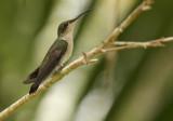 Groene Kolibri - Blue-tailed Emerald