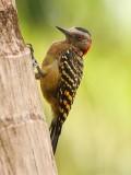 Strepenspecht - Hispanolia Woodpecker
