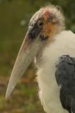 Maraboe - Leptoptilos crumeniferus - Marabou Stork
