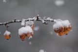 Sneeuwtak met vrucht.....