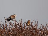 Kramsvogel + Koperwiek - Fieldfare + Redwing