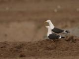 Kleine Mantelmeeuw - Lesser Black-backed Gull