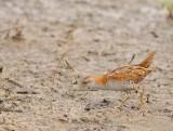 Kleinst Waterhoen - Baillon's Crake