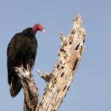 Kalkoengier Turkey Vulture