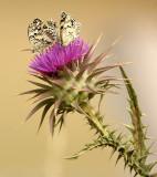 Butterflies - Dragonflies - Flowers