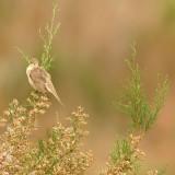 Vale Spotvogel - Olivaceous Warbler