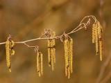 Hazelaar(katjes-mannelijke bloei) - Corylus avellana - Hazel