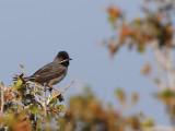 Ruppels Grasmus - Ruppell's Warbler