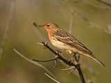 Roodkeelpieper - Red-Throated Pipit