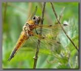 British Dragonflies and Damselflies