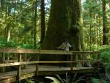 Gigantic Sitka Spruce.jpg