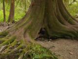 Big cedar roots.jpg
