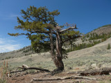 Twisted fir Canoe Creek hill.jpg