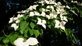 Dogwood blossoms Blue Mt. Park.jpg