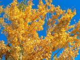 Blue and gold...aspens in autumn