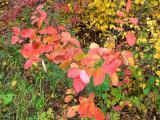 Chokecherry leaves in my yard
