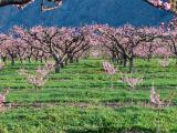 Peach orchard, Osoyoos