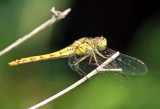 Libellen / Libellules