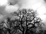 San-Anselmo-winter-tree-BW.jpg