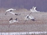 A Gallery of Whooping Cranes at Wheeler Wildlife Refuge