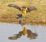 Wheeler Wildlife Refuge - Harrier vs Coot