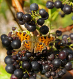 Comma  on grapes at Knighthayes ktichen garden