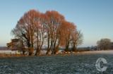 Sheep and Snow