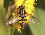 Helophilus sp. AU8 #6379.