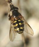 Dasysyrphus intrudens or D.osborni Female  S8 #7944