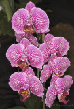 Phalaenopsis Leopard Prince Red Fission F9 #8726
