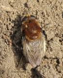 Merodon equestris - Narcissus Bulb Fly JN9 #5423