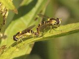 Syrphids Mating JN9 #6504