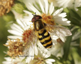 Syrphid O10 #1458
