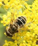 Syrphid #3982