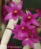 Dendrobium Species and Hybrids