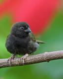 Black-faced Grassquit (Gorrión Negro)