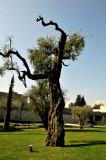 Olive tree ballerina