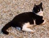 Contented Roman cat