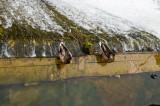 D Dawdling ducks at O'Brien's Bridge