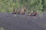 0615 BlkBldWh Ducks.JPG