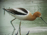 May 14, 2008 Stiles Treatment Plant , Am Avocet
