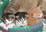 Mom Miiisa and the kittens at three weeks of age.