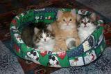 Three kittens at seven weeks
